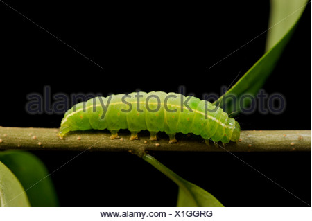 Winter Moth (Operophtera brumata) caterpillar - Stock Photo