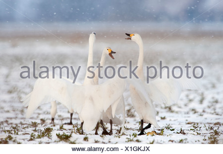 Bewick's Swan, Tundra Swan (Cygnus bewickii), squabbling group on a snowy field - Stock Photo