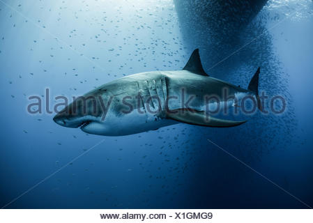 Great white shark (carcharodon megalodon) swimming under boat shadow, Guadalupe, Mexico - Stock Photo