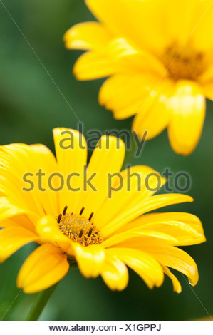 Pair of bright yellow Smooth ox-eye daisy flowers, Heliopsis helianthoides, against green background. - Stock Photo