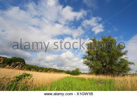 reed grass, common reed (Phragmites communis, Phragmites australis), clouds and fringe of reeds in marshland, nature reserve, Belgium - Stock Photo