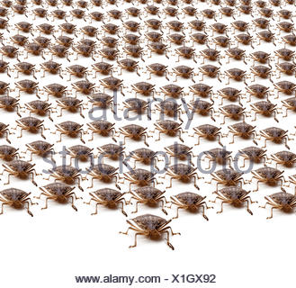 Army of Brown Stink Bugs - Stock Photo