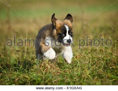 Saint Bernard puppy running across a meadow, Germany - Stock Photo