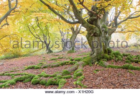 Old beech (Fagus sp.) trees in woods, yellow autumn foliage, Hutewald, Hesse, Germany - Stock Photo