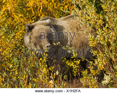 Grizzly Bear (Ursus arctos), feeding near Haines Junction, Indian Summer, leaves in fall colours - Stock Photo