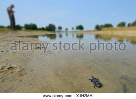 common spadefoot, garlic toad (Pelobates fuscus), older tadpole of a common spadefoot before leaving the water, Germany, North Rhine-Westphalia - Stock Photo