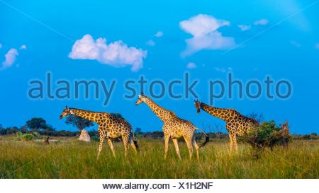 Giraffes on the move, Kwando Concession, Linyanti Marshes, Botswana. - Stock Photo