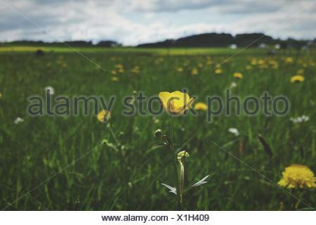 Yellow Flowers Growing In Field - Stock Photo