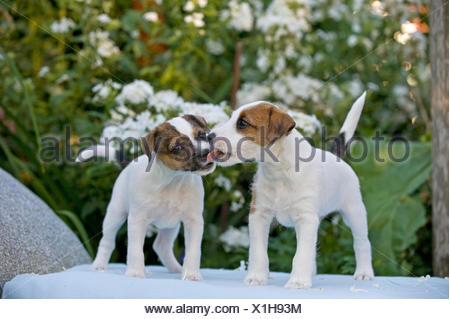 Parson Russell Terrier. Two puppies (6,5 weeks old) on a bench in front of flowering Phlox. Each one is licking the snout of - Stock Photo