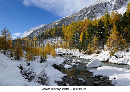 Autumnal coloured Larch (Larix) forest in the freshly snow-covered Val Roseg valley, Pontresina, Grisons, Engadine, Switzerland - Stock Photo