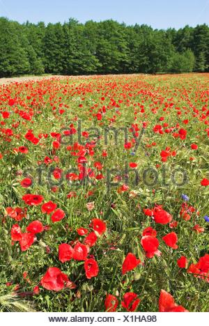 Corn poppy field on the peninsula Lieper Winkel, Usedom island, Mecklenburg Western Pomerania, Germany, Europe - Stock Photo