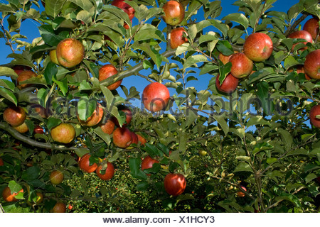 Agriculture - Mature, harvest ready Jonagold apples on the tree / Fortuna, California, USA. - Stock Photo