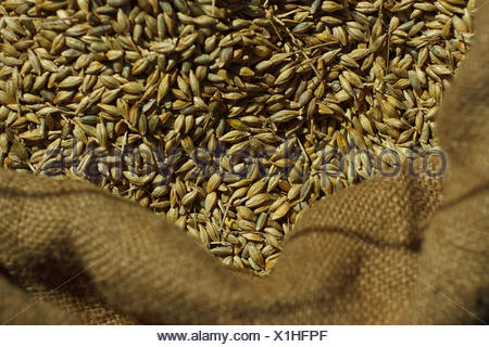 corn in a canvas sack - Stock Photo