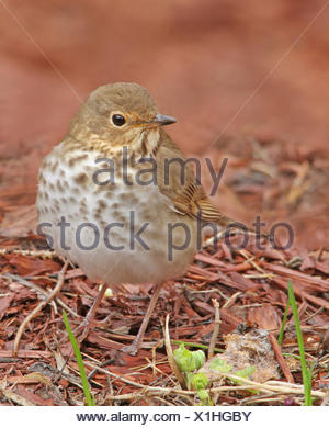A Swainson's Thrush, Catharus ustulatus, in a Saskatchewan backyard - Stock Photo