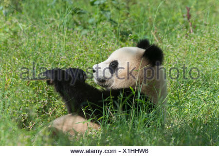 Two years aged young Giant Panda , China Conservation and Research Centre for the Giant Pandas, Chengdu, Sichuan, China - Stock Photo