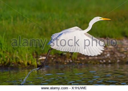 great egret, Great White Egret (Egretta alba, Casmerodius albus, Ardea alba), great egret flying off, Switzerland, Lake Constance - Stock Photo