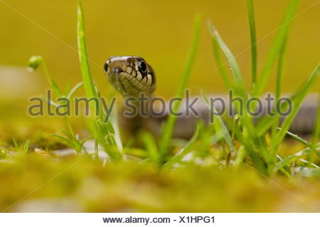 Grass Snake, Germany / (Natrix natrix) - Stock Photo