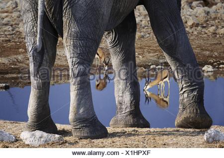 Sprinboks and elephant at waterhole Etosha National Park Namibia - Stock Photo