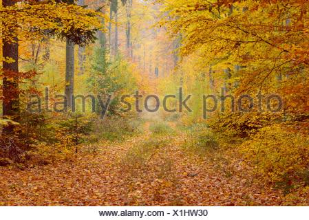 Path in Beech Forest in Autumn, Spessart, Bavaria, Germany. - Stock Photo