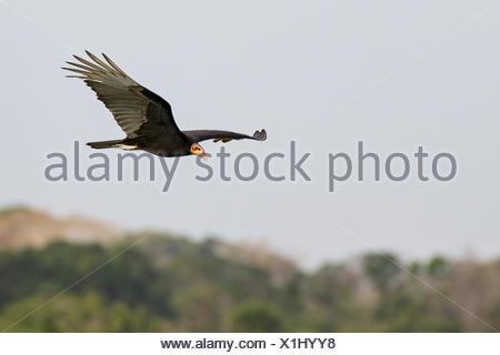 Lesser Yellow-headed Vulture (Cathartes burrovianus) flying in the Pantanal region of Brazil. - Stock Photo
