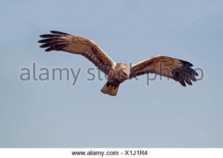 Marsh Harrier - Circus aeruginosus - Immature male - Stock Photo
