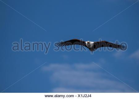Flying fish eagle (Haliaeetus vozier), Chobe National Park, Botswana - Stock Photo