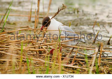 black-headed gull (Larus ridibundus, Chroicocephalus ridibundus), collects nesting material, Germany, North Rhine-Westphalia, Rieselfelder Muenster - Stock Photo