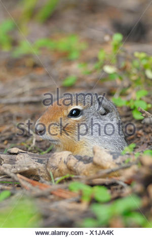 Columbian Ground Squirrel, looking out of burrow, Yoho national park, British Columbia, Canada / (Spermophilus columbianus) - Stock Photo