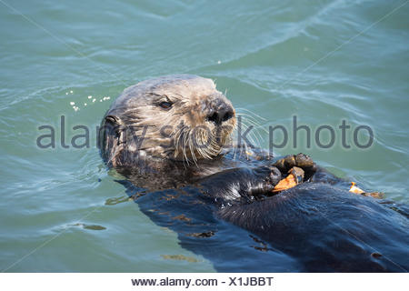 California sea otter, (Enhydra lutris nereis) eating a mussel. Elkhorn Slough, Moss Landing, California, United States, Eastern Pacific. Threatened species. - Stock Photo