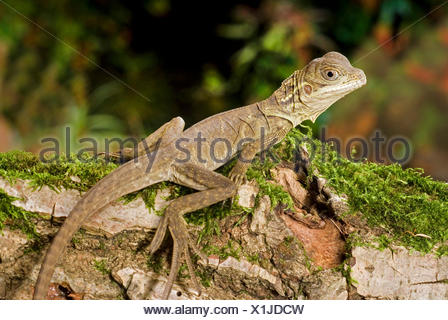 Weber's sail-fin lizard, Webers sail-fin dragon, green sail-fin dragon, soa soa (Hydrosaurus weberi), on mossy branch - Stock Photo
