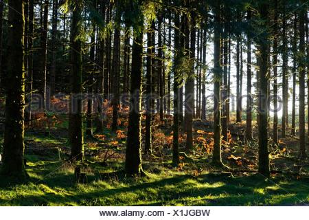 Coniferous forest, Parc Naturel Regional de Millevaches en Limousin, Millevaches Regional Natural Park en Limousin, Correze - Stock Photo