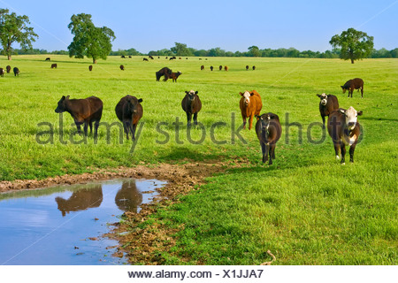Livestock - Black Baldie, Black Angus and Crossbred beef cattle on a green Spring pasture / near Clements, California, USA. - Stock Photo