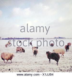 Flock of sheep at pasture at winter - Stock Photo