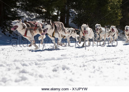 Dog sled or dog sledge, sledge dogs running through a forest, in winter - Stock Photo