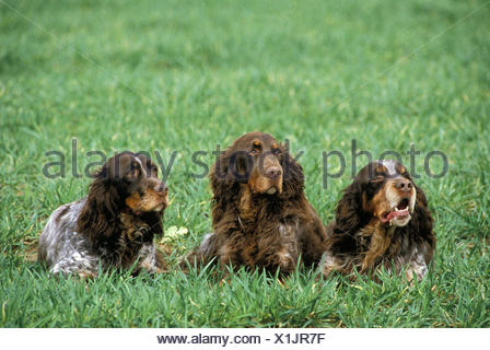 Picardy Spaniel Dog, a French Breed, laying on Grass - Stock Photo
