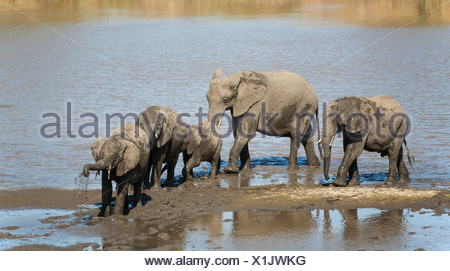 African Elephants (Loxodonta africana) herd drinking and mud-bathing in the Shingwedzi River, Kruger National Park, South Africa - Stock Photo
