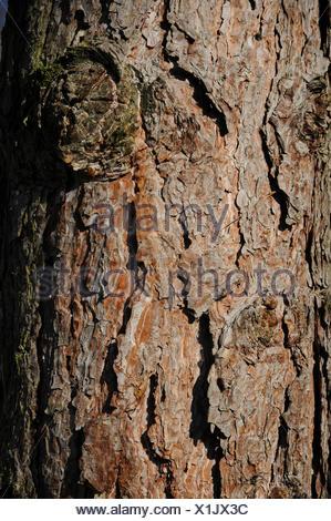 Austrian black pine - Stock Photo