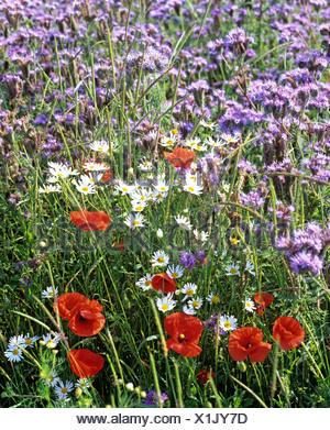 Red Poppy (Papaver rhoeas), Marguerites (Leucanthemum), Phacelia, flower meadow in summer - Stock Photo