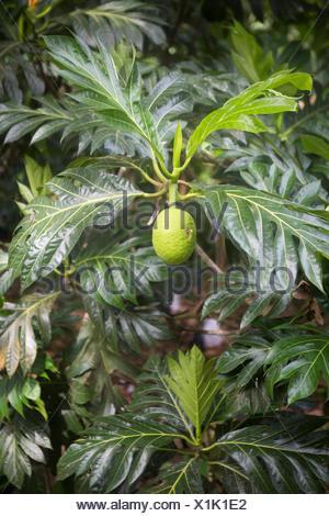 Fruit of the Breadfruit Tree, Ponta Figo, Sao Tome and Principe Island - Stock Photo