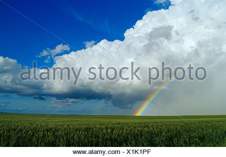 Cumulonimbus cloud mass and rainbow with wheat field in the foreground, near Bromhead, Saskatchewan - Stock Photo