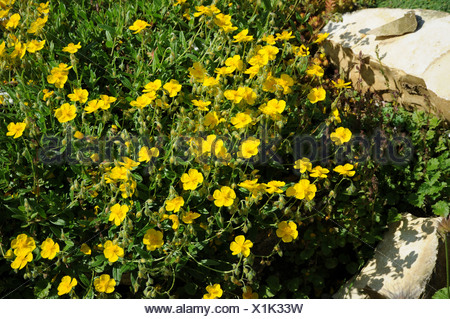 Rockrose - Stock Photo