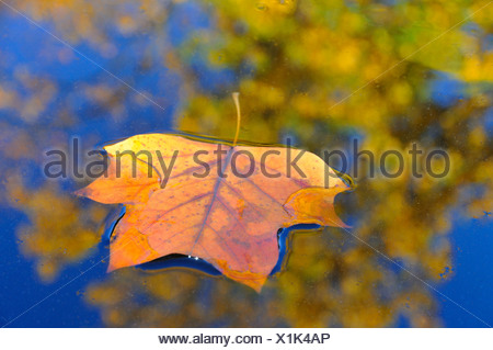 tulip tree (Liriodendron tulipifera), autumn leaf swimming on water, Germany - Stock Photo