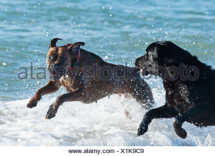 Pair Of Dogs Playing In Surf; Tarifa Spain - Stock Photo