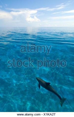 Bottlenose dolphins (Tursiops truncatus) in shallow water over a sand bank. Sandy Ridge, Little Bahama Bank, Bahamas. Tropical West Atlantic - Stock Photo