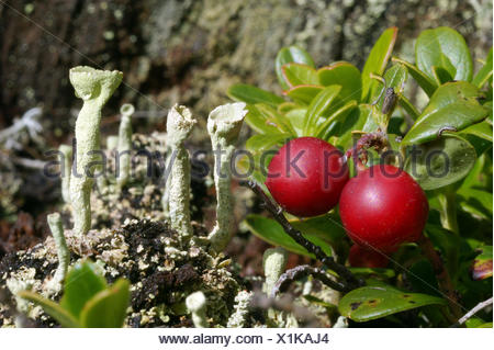 cowberry, foxberry, lingonberry, mountain cranberry (Vaccinium vitis-idaea), with cup lichens, Italy, South Tyrol, Dolomiten - Stock Photo