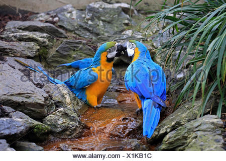 Blue and yellow macaw, Blue and gold Macaw, Blue-and-gold Macaw, Blue-and-yellow Macaw (Ara ararauna), pair