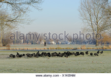 grass eating eurasian coots during frost period - Stock Photo