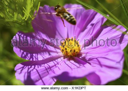 Westliche Honigbiene (Apis mellifera) mit Schmuckkörbchen, Cosmea (Cosmea bipinnata), Bayern, Deutschland, Europa - Stock Photo