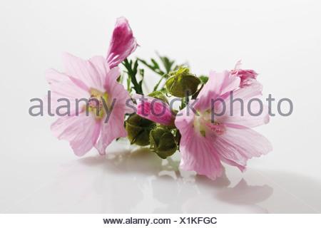 Common mallow (Malva sylvestris) - Stock Photo