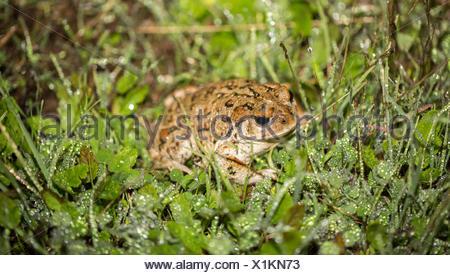 California Toad - Anaxyrus boreas halophilus, Santa Clara County, California - Stock Photo